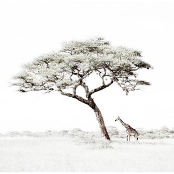 Lone Giraffe Under Tree by Caroline Gibello Photographic print, 51.9 x 51.9cm