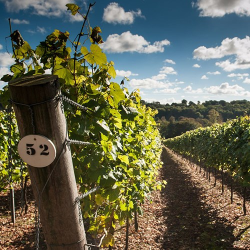 Two Tickets to a Public Tour and Sparkling Wine Tasting at Hambledon Vineyard